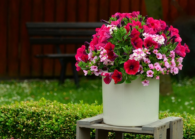 petunie v květináči